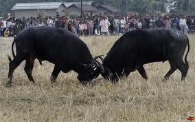 Magh Bihu - Buffalo fight